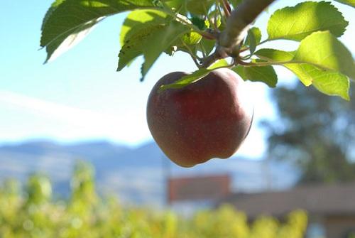Blush Lane Organic Orchard